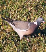 PigeonRamier9272-160