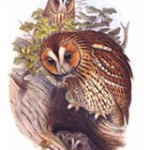 Chouette hulotte. (Tawny Owl)