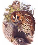 Chouette hulotte. Famille des Strigidés. Ordre : Strigiformes