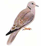 (collared dove)