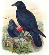 Corneille noire. Famille des Corvidés. Ordre : Passériformes