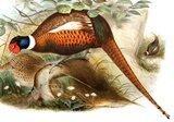 Faisan de Colchide. Famille des Phasianidés. Ordre : Galliformes