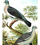 Pigeon ramier. Famille des Columbidés. Ordre : Columbiformes